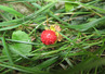 <p>Wild Strawberry (Fragaria vesca)</p>