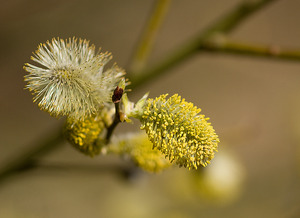 Goat Willow Buds