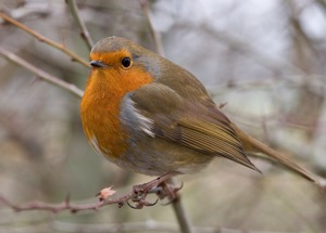 The Christmas Robin