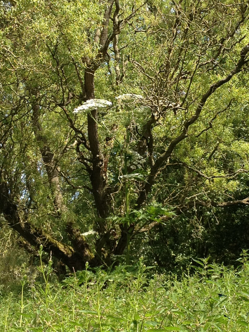 Giant Hogweed in trees