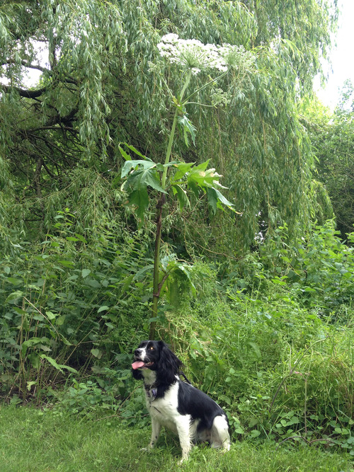 Giant Hogweed with dog