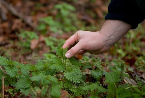 picking stinging nettles without gloves