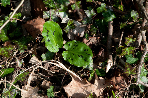 Cuckoo Pint Leaf Markings